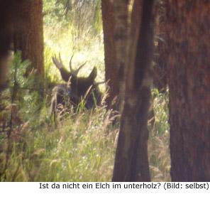 Elch Moose Kanada