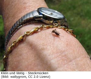 Stechmücke Mosquitoe Kanada Mücke
