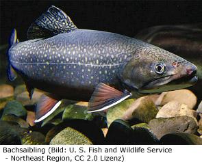 Saibling Fisch Kanada Angeln