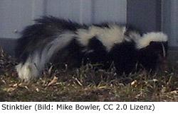 Stinktier Skunk KanadaStinktier (Skunk)