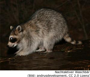 Waschbär Racoon Kanada